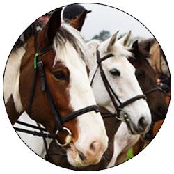 ДЮСШ Амадей лошади